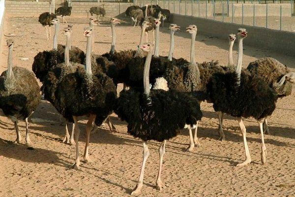 پرورش 760 قطعه گوشتی شتر مرغ در گیلان، 10 بهره بردار فعال هستند