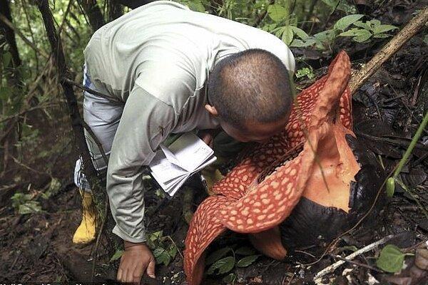 گل 117 متری عظیمی در جنگل اندونزی رویید