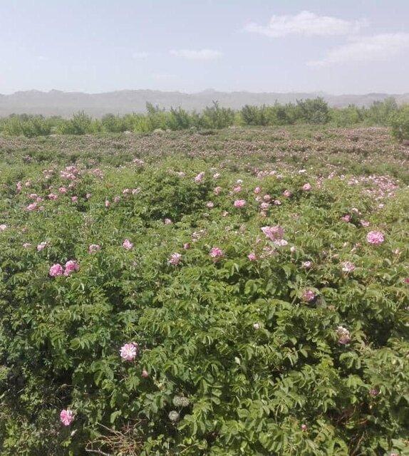 کشت نهال گل محمدی در شهرستان تفتان